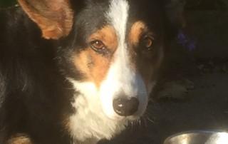 Welsh corgi eet graanvrij hondenbrokken